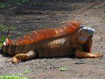 Costa Rica; Iguana