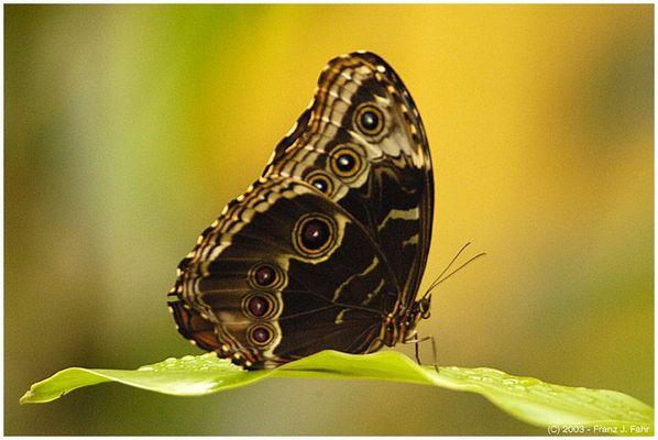 Costa Rica - Schmetterling im Primärwald