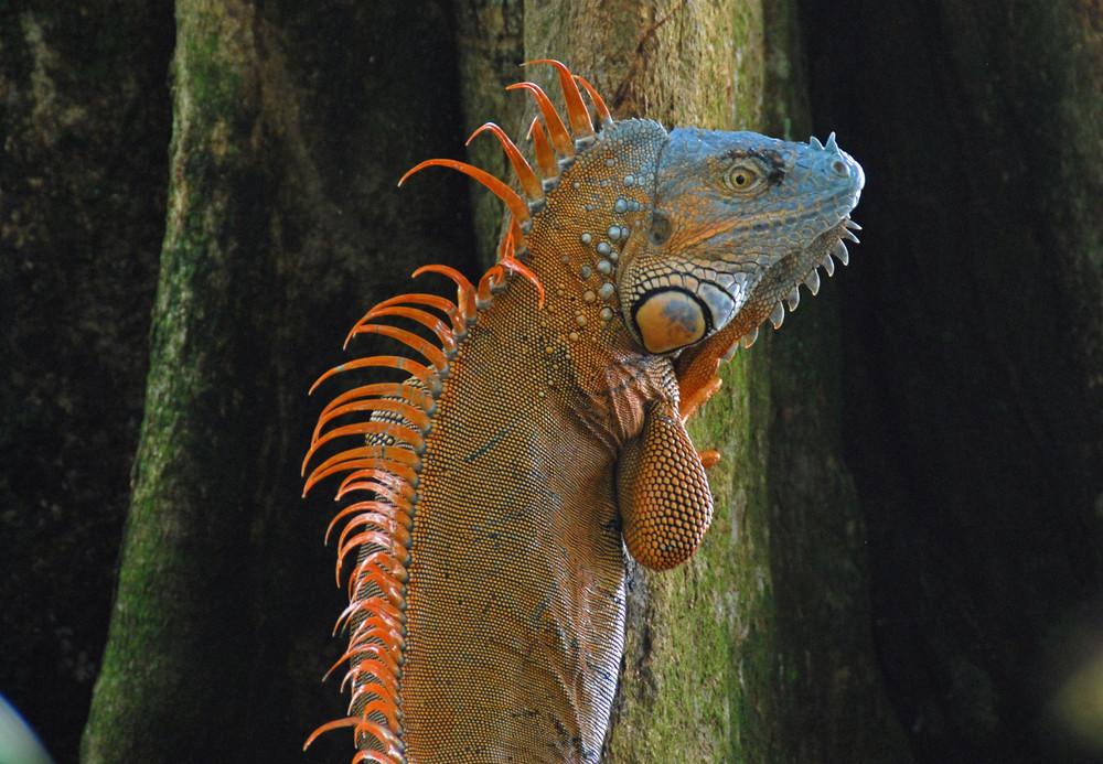Costa Rica; Tortugero: Iguana