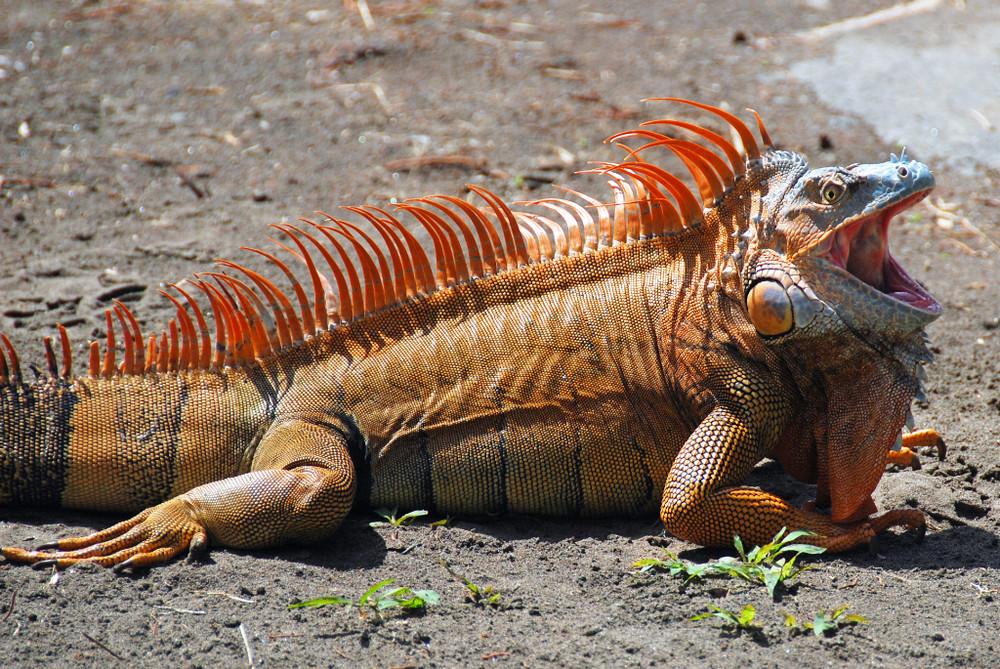Costa Rica, Tortugero: Iguana Torso