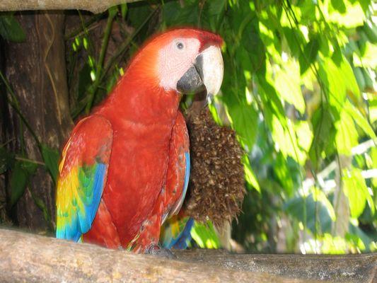 Costa Rican Maccau