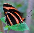 Costaricanischer Schmetterling