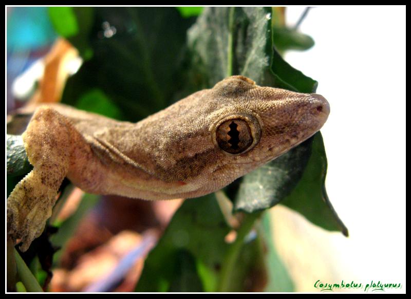 Cosymbotus platyurus