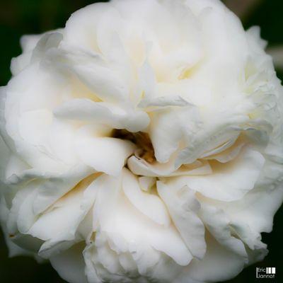 Coton de rose