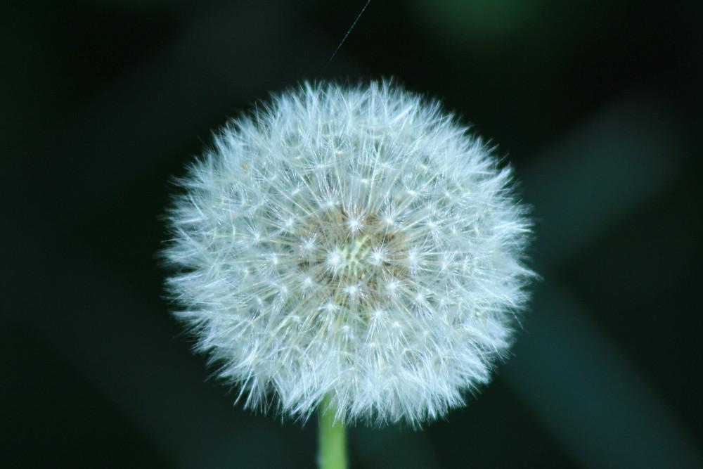 Cottbuser Blume