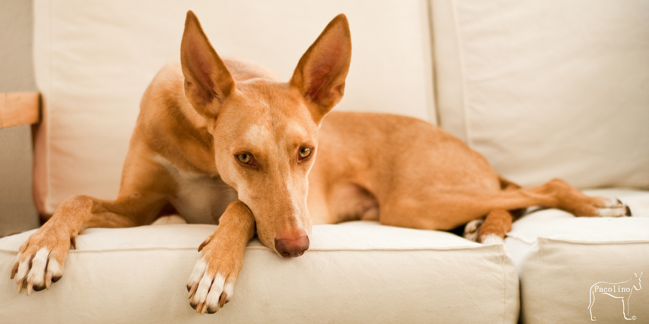 Couch-Podenco