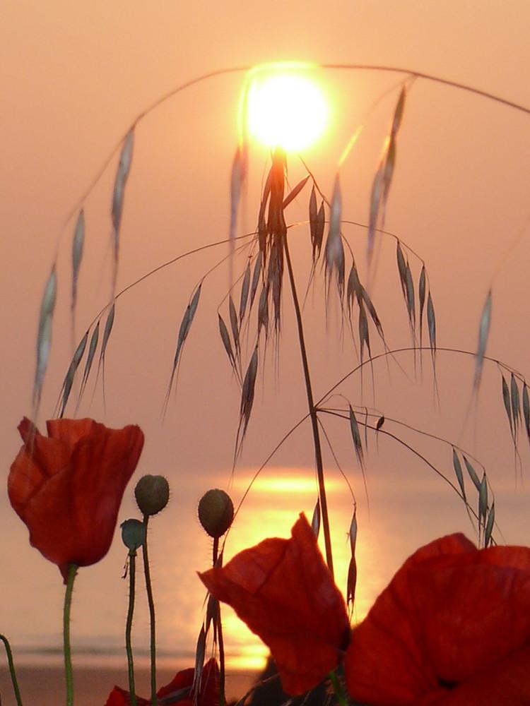 coucher de soleil sur coquelicots....