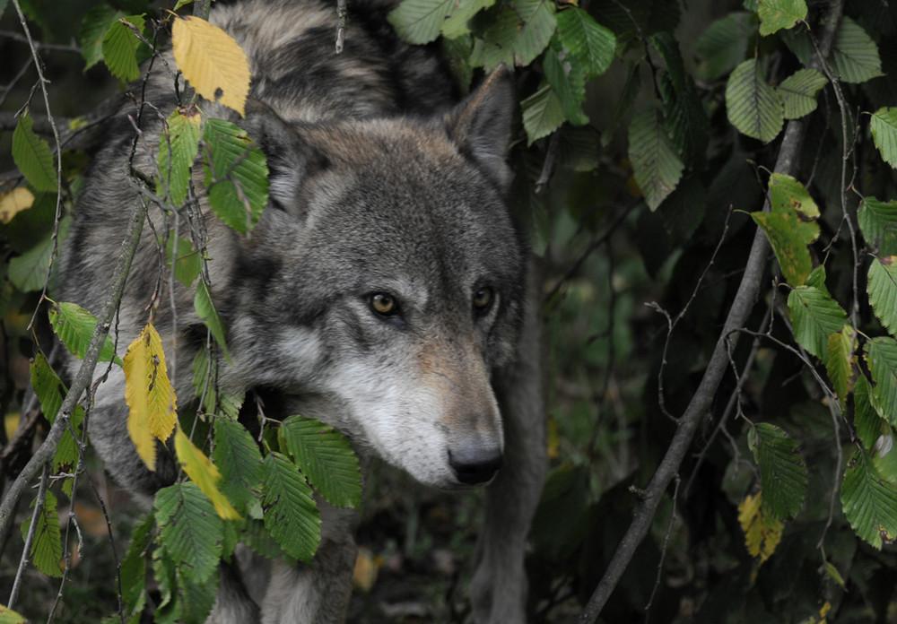 coucou , c'est le loup