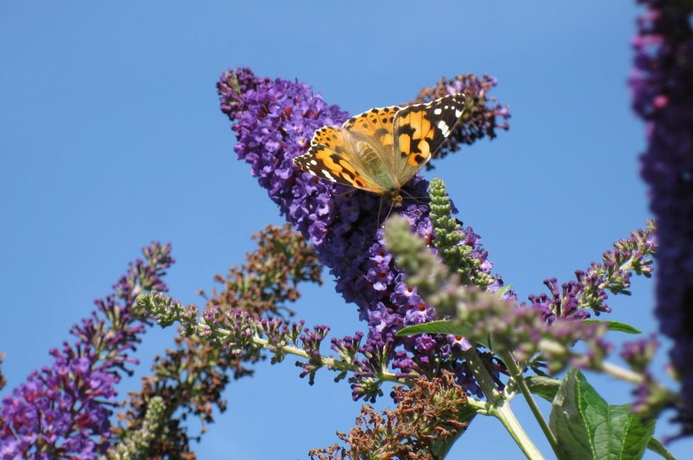 couleur papillon