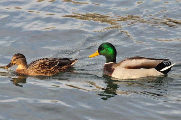 couple de canards, lac de Neuchâtel (CH)
