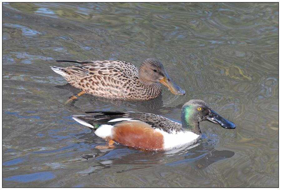 Couple de canards souchet