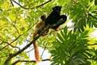 Couple de lémuriens diurnes ( MADAGASCAR )