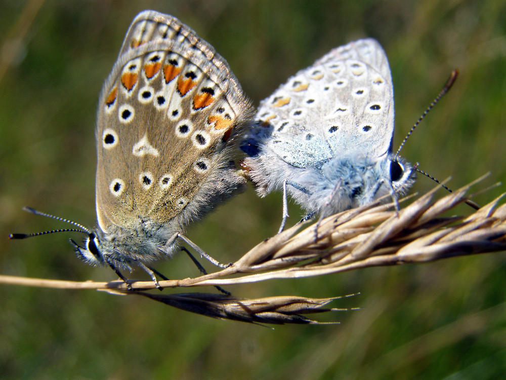 Couple de papillon