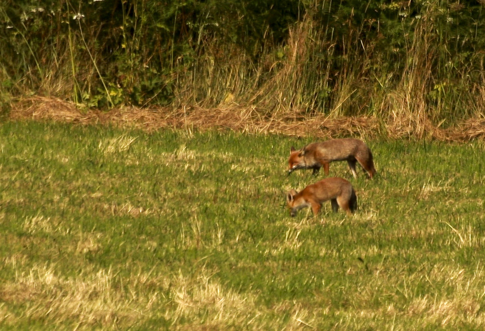 Couple de renard : chasse en fin de soirée