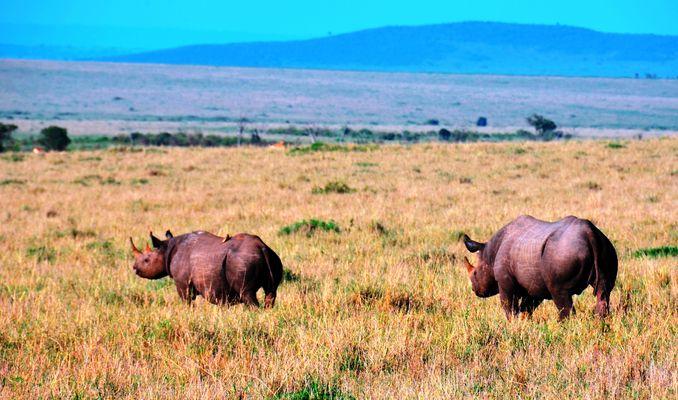 Couple de rhinocéros noirs