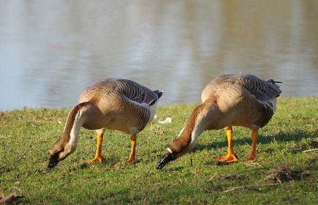 Couple d'oies cygnoïdes