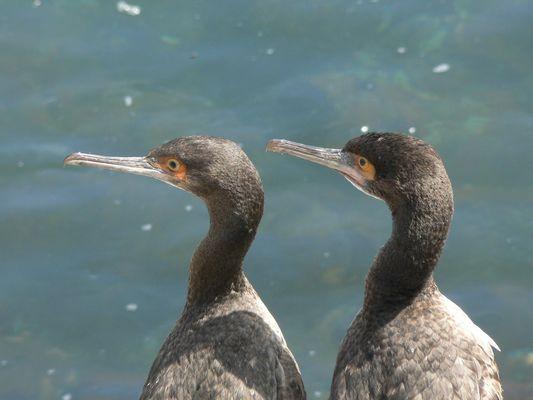 Couple d'oiseaux marins