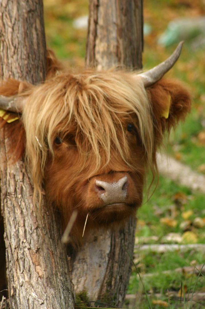 Cow-Boy