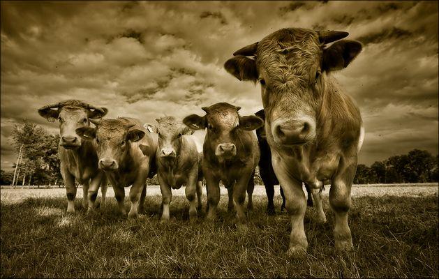 Cow Gang