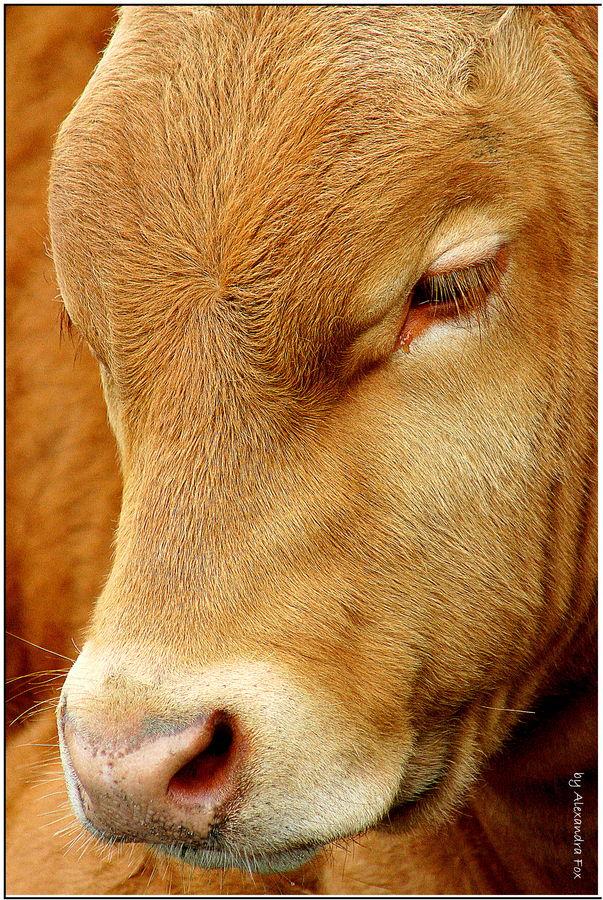 . cow in portrait .