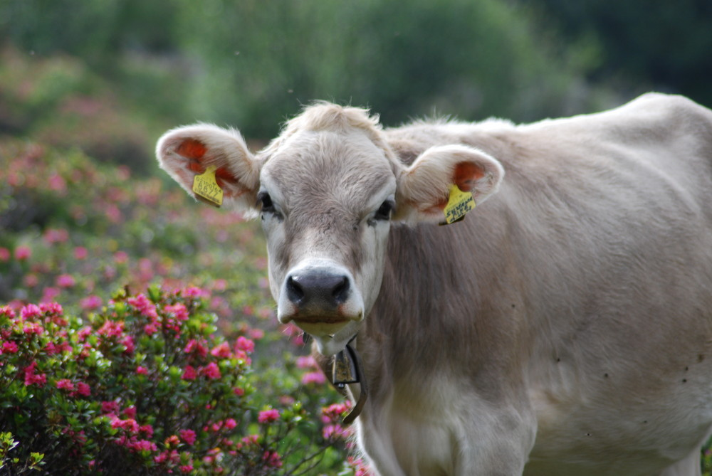 Cow in the italien Dolomites