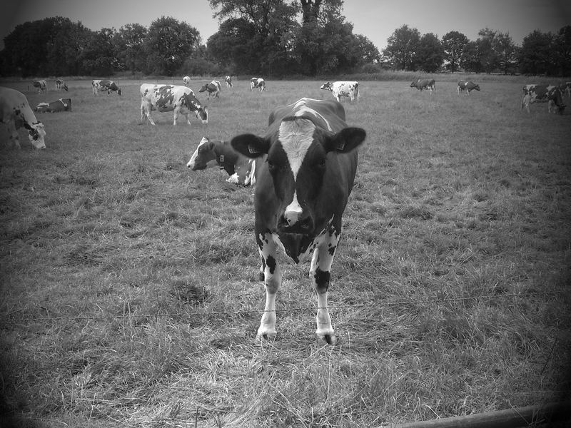 Cow shocked...21...22...23