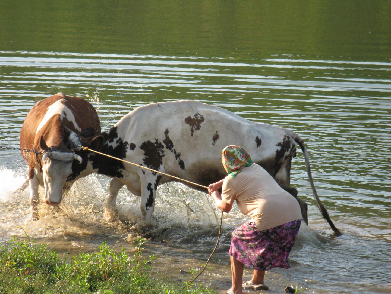 cow's butt