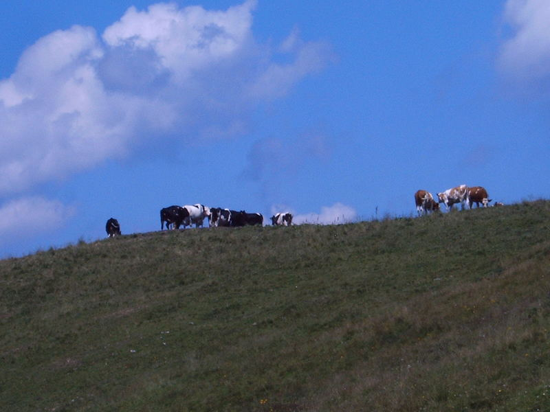 cows on the sky