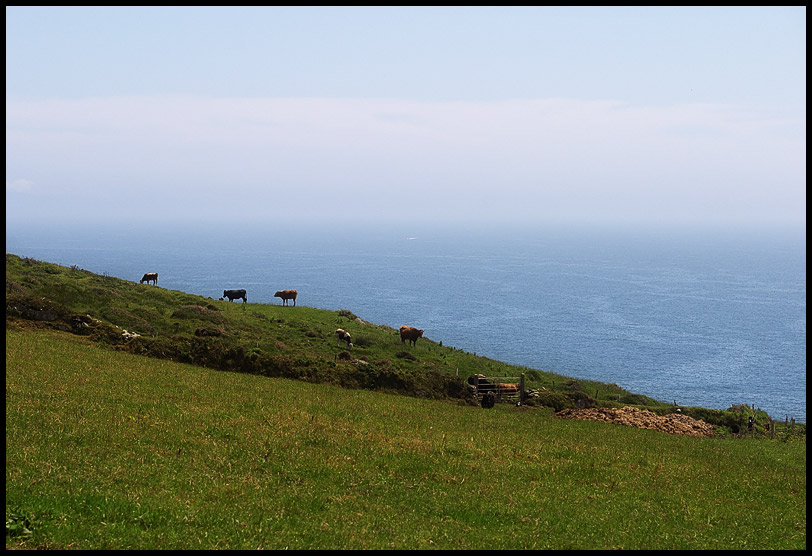 Cows on the West Coast