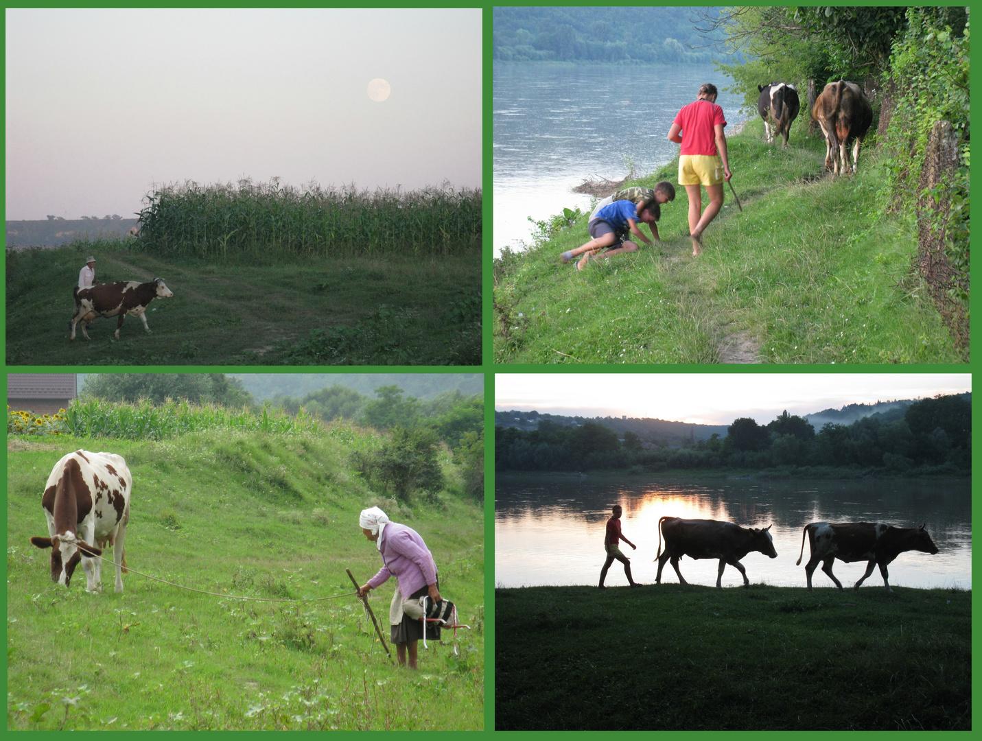 cows & shepherds