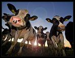 cows_2