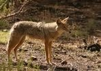 Coyote im Grand Canyon