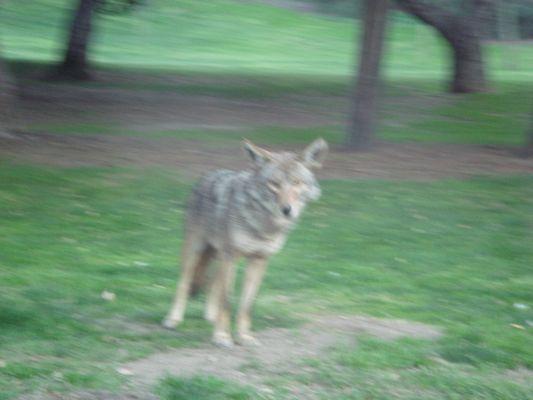 Coyotte dans un park à Los Angeles
