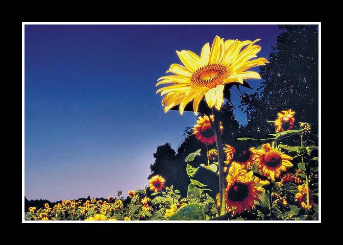 CP-098 Sonnenblume # 1b