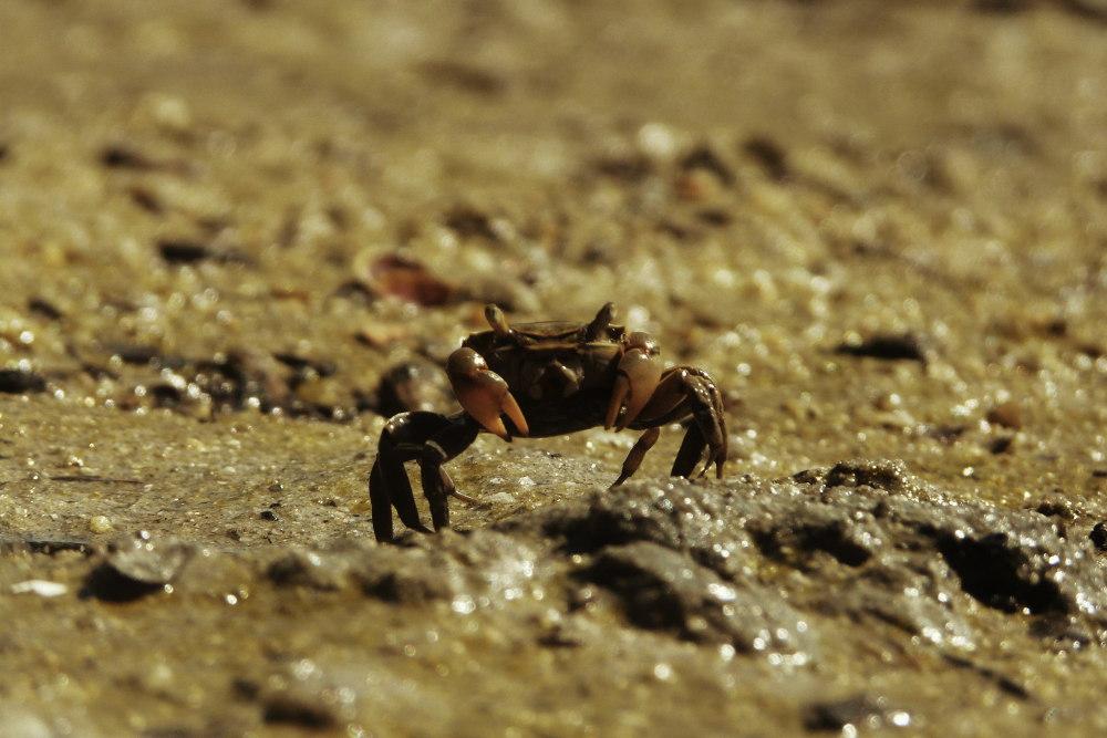 Crab at low tide, Abel Tasman National Park, New Zealand