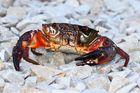 Crab Terminator...