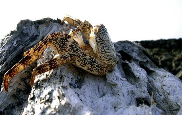 crabb