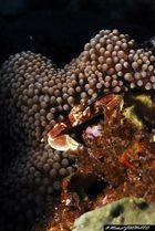 crabe de porcelaine