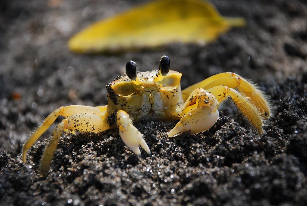 Crabe sur sable noir