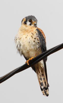 Crécerelle d'Amérique (Falco sparverius)