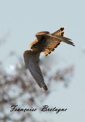 crecerelle femelle en vol