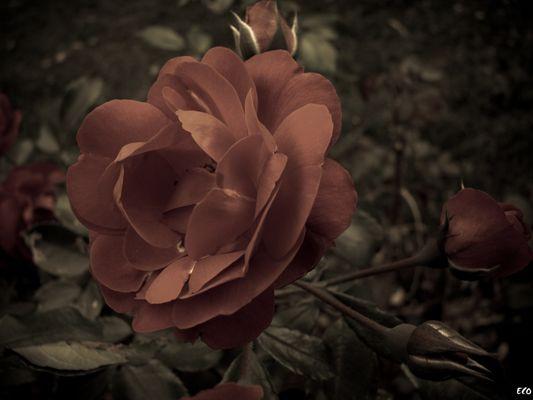 Creepy rose