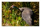 Crested Guineafowl