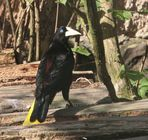 Crested oropendola Stirnvogel