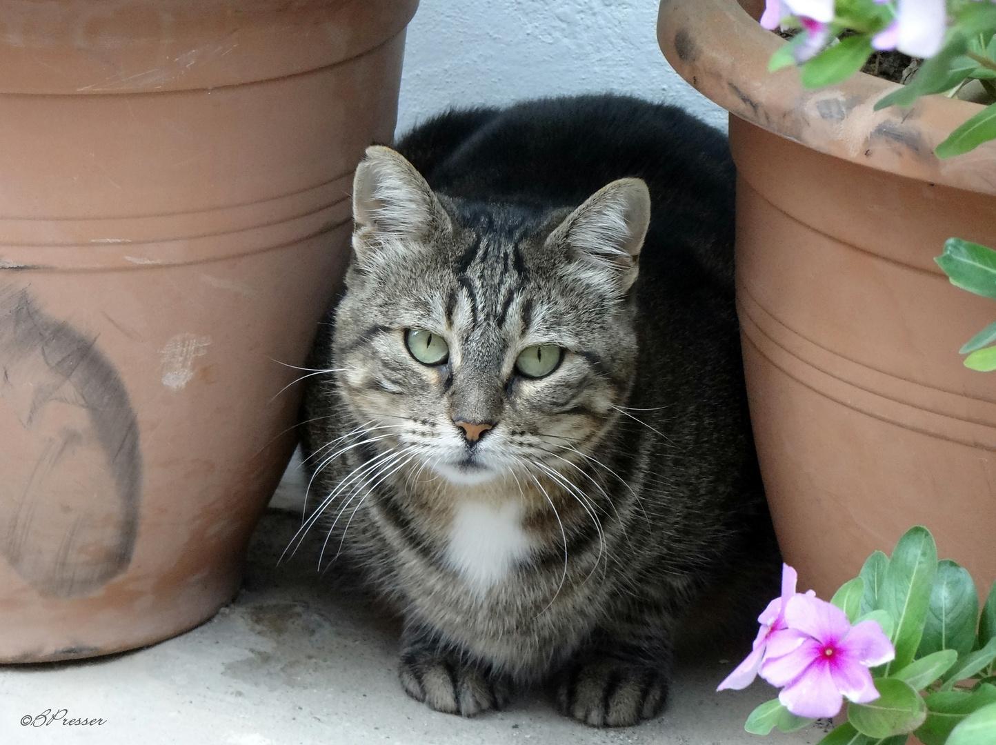 Cretan cats (2)