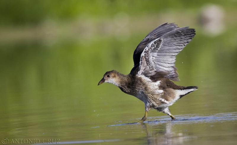 Cria de Polla de Agua