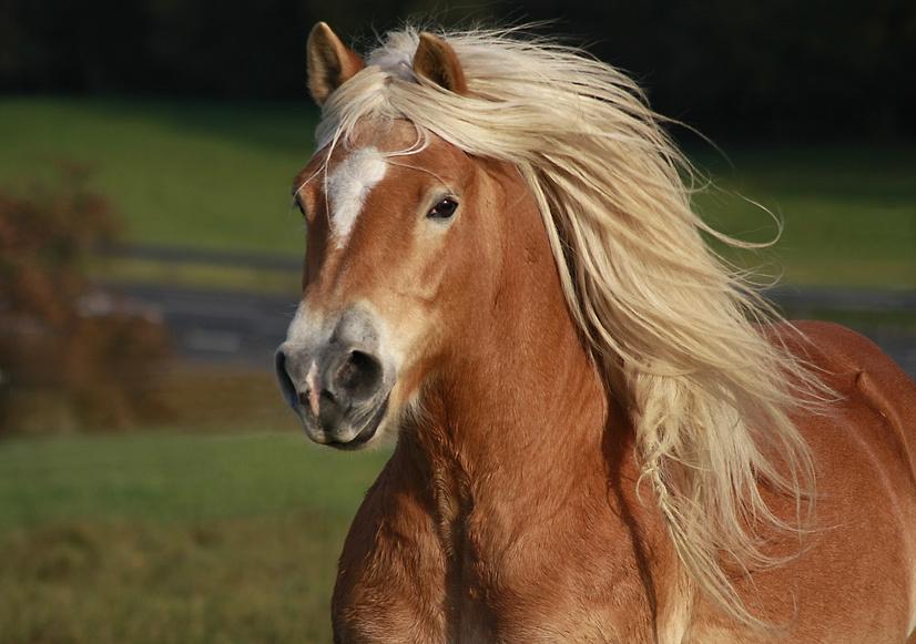 Crinière blonde