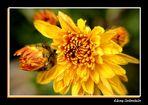 Crisantemo Amarillo