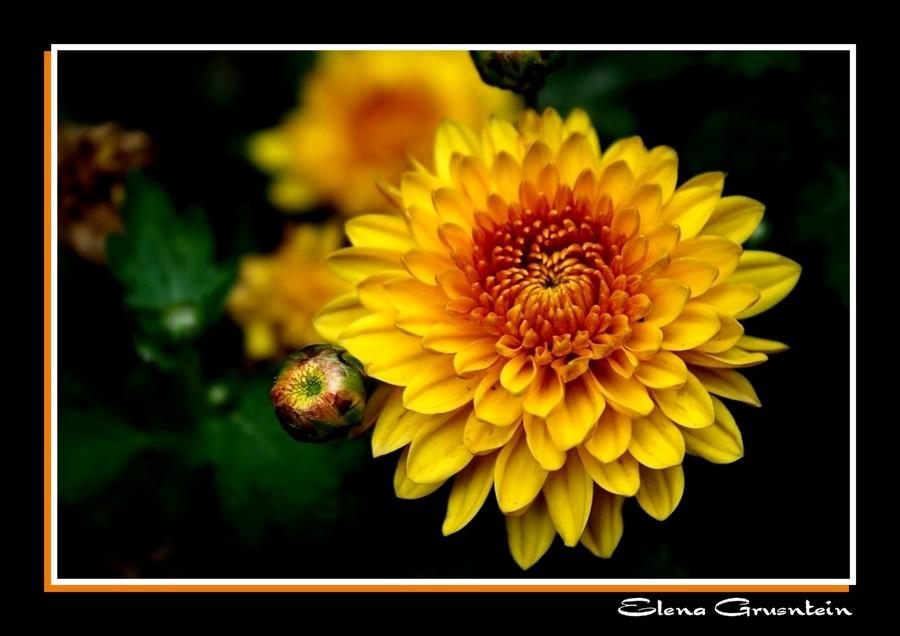 Crisantemo Amarillo II