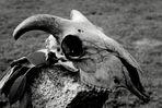 crâne de bouc